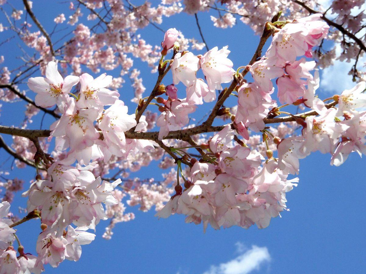 4月花まつり